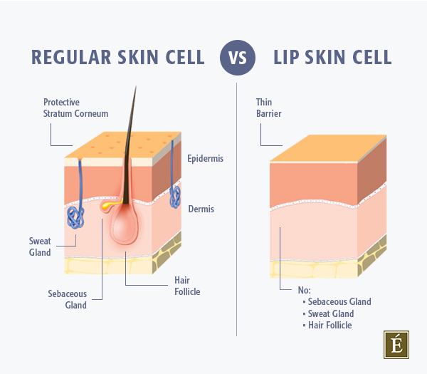 cross section of a regular skin cell versus a lip skin cell