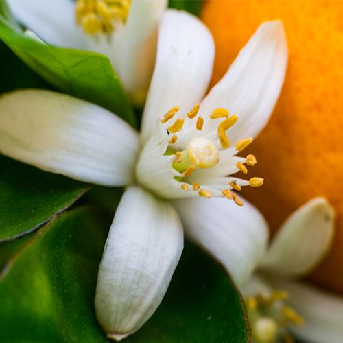 Closeup of Neroli Flower and Orange