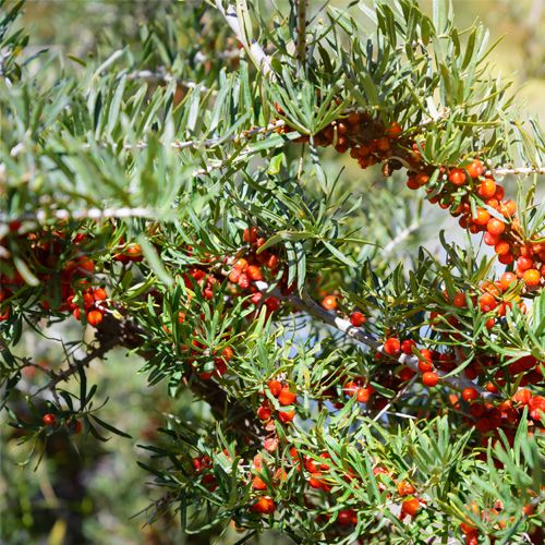 Seabuckthorn berry bush