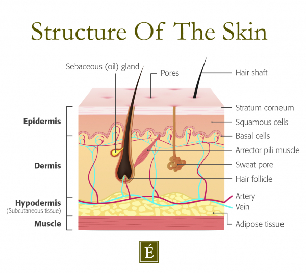 structure of skin infographic