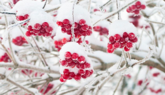 winter cranberries