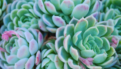 A closeup of green stone crop succulents.